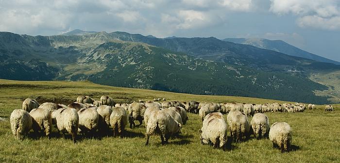 owce z widokiem na Paryng